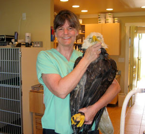 Working on a Bald Eagle for Chintimini Wildlife Center